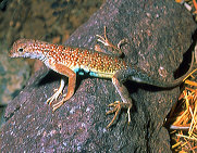 Lesser earless lizard showing blue stomach with black side markings.