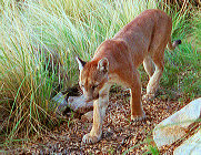 Mountain Lion walking in the grass