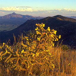 A cactus in bloom with mountain peaks in the distance