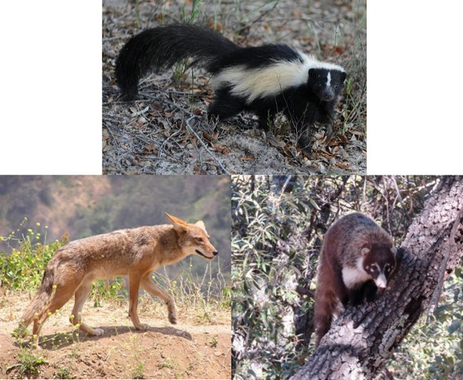 Skunk, Coyote, and a Coati