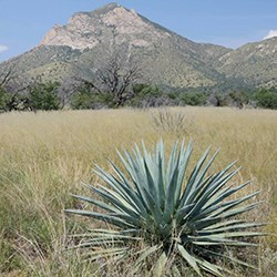 An agave in a field of tall grass, in the background a rocky mountain rises