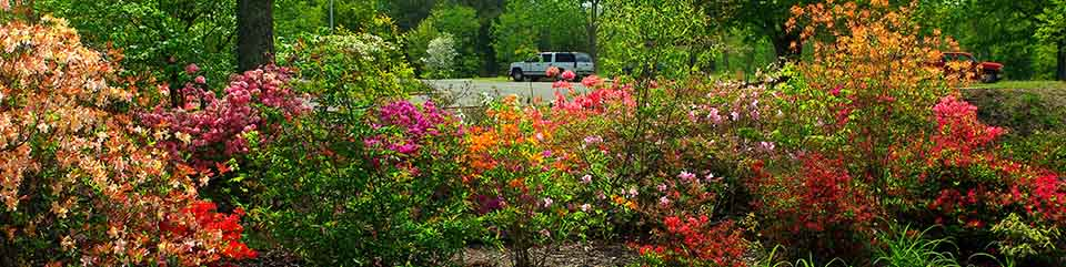 Azaleas bloom in the lower parking lot at the Cowpens National Battlefield Visitor Center.