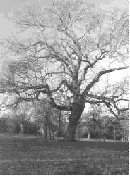 tree at Cowpens National Battlefield