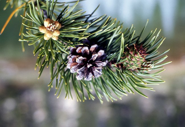 pinecone attached to a branch of a lodgepole pine