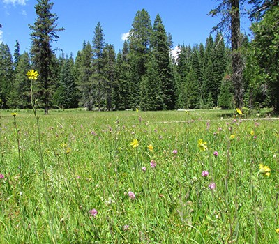 A lush wet meadow populated with a variety of wildflowers