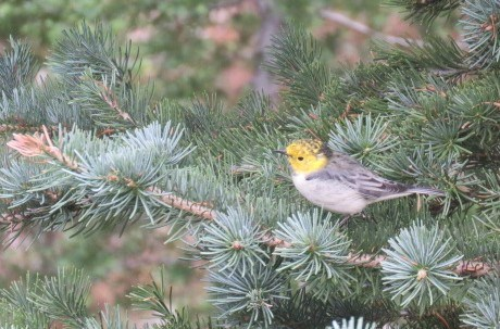 a warbler sits in a conifer tree