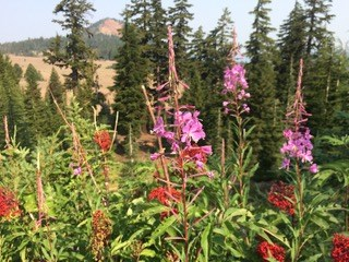 Fireweed along North Entrance