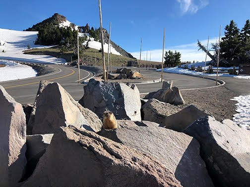 marmot on boulder, road, parking area, Hillman Peak