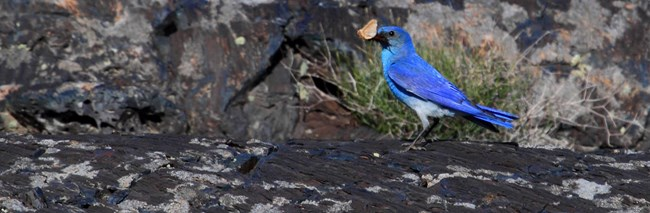 blue bird on lava rock