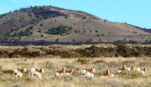 Pronghorn migration