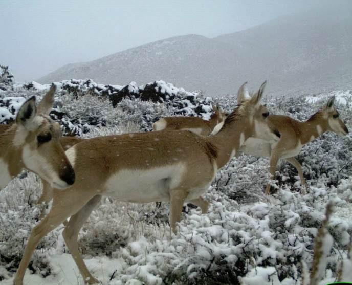 pronghorn in snow