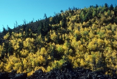 Aspens turn from green to yellow.