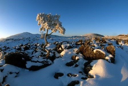 Snow covers the black lava landscape and a twisted limber pine.