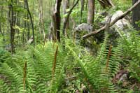 Cinnamon ferns in lush forest