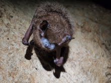 bat with white nose synd