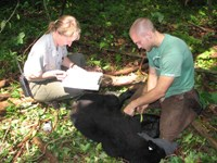 park ranger and scientist study black bear