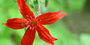 Fire Pink, a bright red appalachian wildflower.
