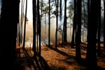 A wildfire on Cumberland Island burns in a stand of longleaf pine forest.