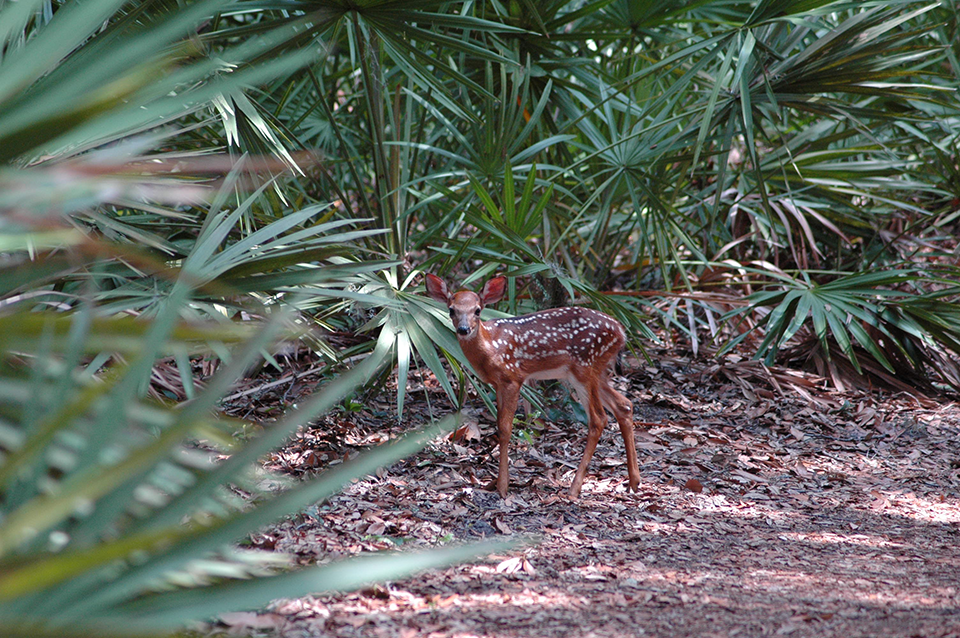 Image of fawn on the ground floor of the maritime forest looking towards the camera with saw palmettos of the understory in the background