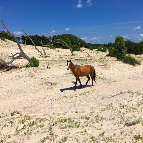 horse walking through vegetated sand dunes