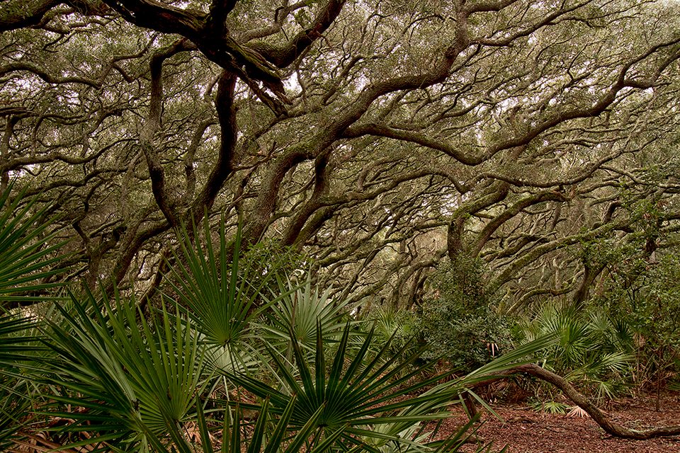 Image of a maritime forest primarily made up of live oaks that have characteristic twisting, turning branches that are leaning to the right as a result of salt pruning