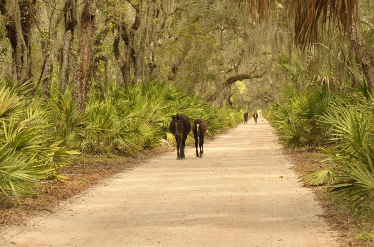 four horse walk down sand road in palmetto and oak forest