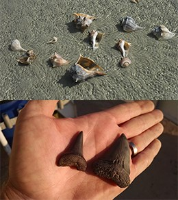 several whelk shells in shallow water and two large fossilized sharks teeth held in a hand