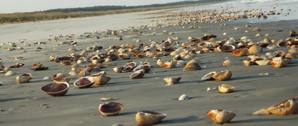 giant Atlantic cockle shells covering a long stretch of beach