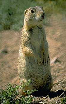 Gunnisons Prairie Dogs Curecanti National Recreation Area US