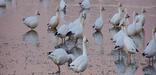 During the winter months, flocks containing hundreds of snow geese call Assateague home, 28kb. Photo by John Collins.