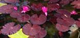 Kenilworth Aquatic Gardens, Tropical Water Lily