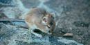 Photo of kangaroo rat