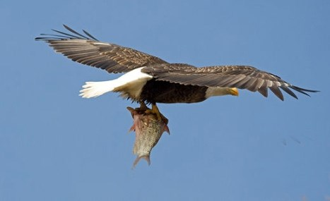 CVNP_eagle_fishing_41508_Lisa_Romaniuk