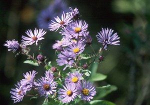 New England Aster by NPS