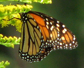 WEB_CVNP_Butterfly8_Monarch©Nancy_Piltch