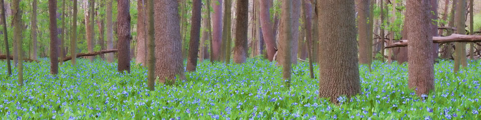 Image of bluebells in the spring