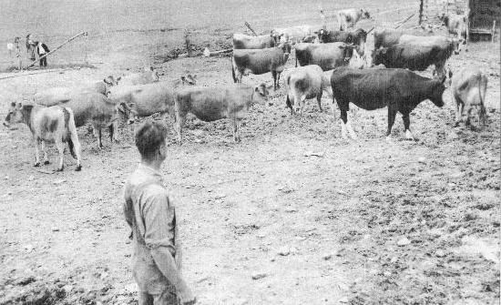 Farmer with cows.