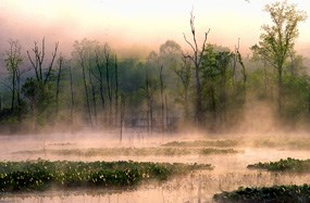 Fog rises above a lily pad covered wetland that is surrounded by deciduous trees in the early morning sunlight.