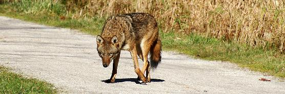 Coyote on the towpath.