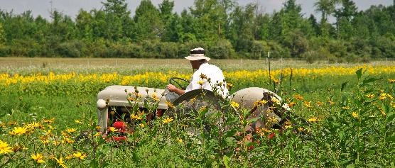 a farmer in white hat and shirt rides a tractor; in the background, a row of bright yellow flowers.