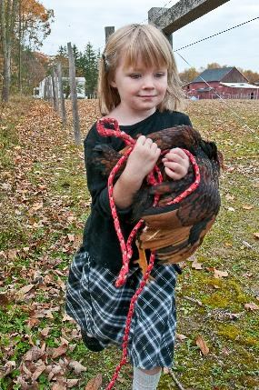 Modern photo of a young girl carrying a chicken next to a farm fence. with a barn in the  background.