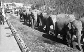 Elephants marching up SR 303.