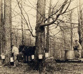 Tapping sap from maple trees.
