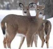 Pair of deer in winter.