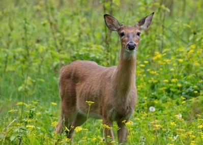 Young_Male_White_Tailed_Deer_Jerry_Jelinek