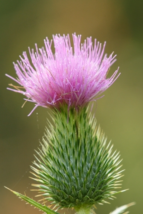 fall_thistle_blooming_Jim_Schmidt