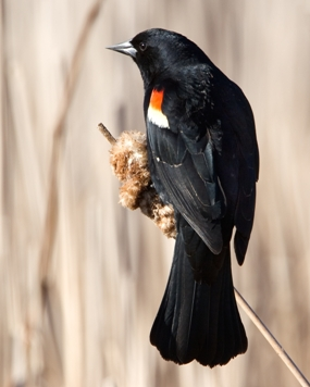 jim schmidt_red-winged_blackbird on a cattail