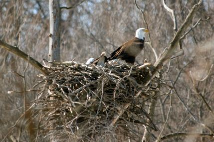 lisa romaniuk eagle nesting