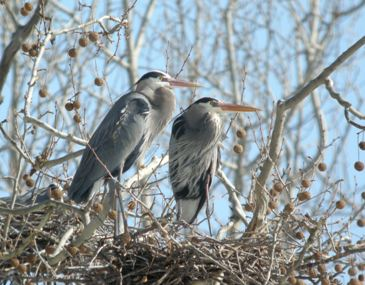 lisa romaniuk great blue herons nesting in sycamore