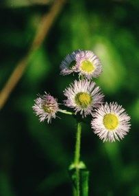 close-up of aster flower